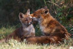 Red fox family. A red fox family posing in the dunes Stock Images
