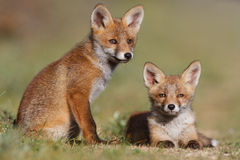 Red fox family. A red fox family posing in the dunes Royalty Free Stock Images
