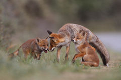 Red fox family Stock Photos