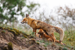 Red fox family. A red fox with cubs Royalty Free Stock Images