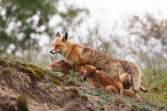 Red fox family Stock Photo