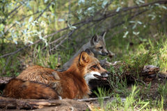 Red Fox Family. Red Fox and her pup against a blurred background Royalty Free Stock Photography