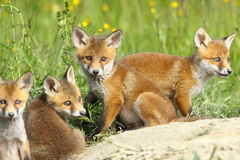 Red fox family Royalty Free Stock Photos