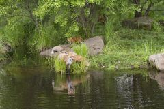 Red Fox Family at Water`s Edge with Reflections Stock Image