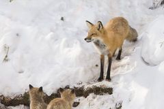 Red fox family Stock Photography