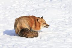 Red fox feeling threatened. And in defensive posture royalty free stock photography