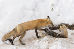 Red fox female and cub Royalty Free Stock Photos