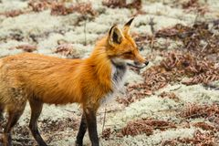 Red Fox Female Nursing Vixen. Female red fox stands on a carpet of moss in Algonquin Park in Ontario, Canada royalty free stock image