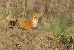 Red fox female Stock Image