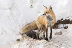 Red fox female Royalty Free Stock Photography