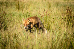 Red fox in field Royalty Free Stock Photo