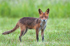 Red fox in a field Royalty Free Stock Photos
