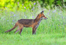 Red fox in a field Stock Images