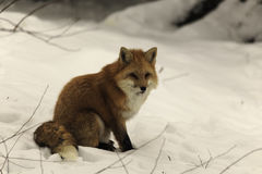 Red fox in a field of snow Royalty Free Stock Photos