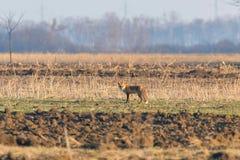 Red Fox in field, spring morning Vulpes vulpes. Wildlife royalty free stock photos