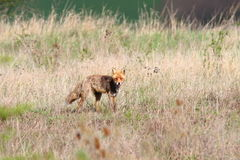 Red fox in the field Royalty Free Stock Photos