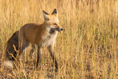 Red Fox in Field Stock Image