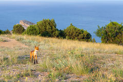 Red fox on field Royalty Free Stock Photography