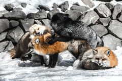 Fox mating in winter season. Red fox fight with another for mating in winter season among snow Stock Images