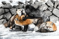 Fox mating in winter season. Red fox fight with another for mating in winter season among snow Royalty Free Stock Photos
