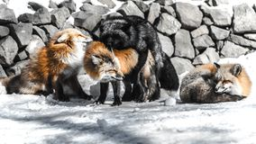 Fox mating in winter season. Red fox fight with another for mating in winter season among snow Stock Photography