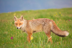 Red fox on flowers meadow Stock Photo