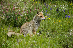 Red fox on flowers Stock Photo