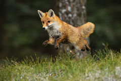 Red Fox. In the fly Royalty Free Stock Images