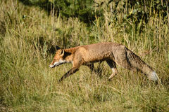 Red fox foraging Stock Photos