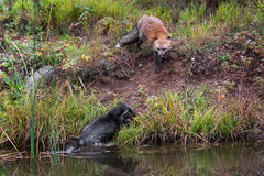 Red Fox Forces Silver Fox (Vulpes vulpes) Into Pond Stock Images