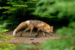 Red fox in the forest Stock Images