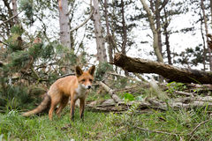 Red Fox. Red Fox in forest landscape Royalty Free Stock Images