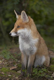 Red fox in the forest Royalty Free Stock Image