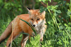 Red fox in forest. During summer Stock Photo