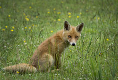 Red Fox Stock Image
