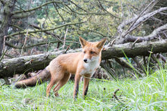 Red Fox. In front of fallen tree Stock Photos