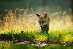 Red fox from front view in autumn backlight. Red fox walking from front view in autumn backlight in colorfull green and yello grass Royalty Free Stock Photo