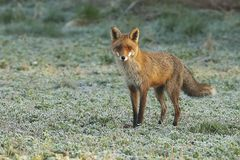Red fox in frozen meadow royalty free stock images