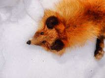 Red fox fur pelt Stock Photography