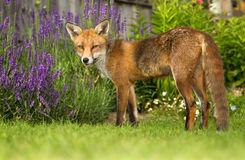 Red fox in the garden Stock Image