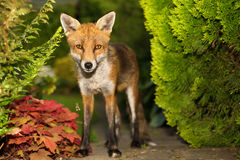 Red fox in the garden Stock Photography
