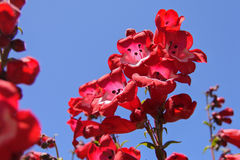 Red Fox Glove blooming Stock Image