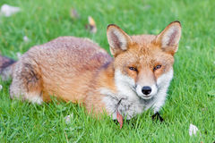 Red Fox on Grass Stock Photography