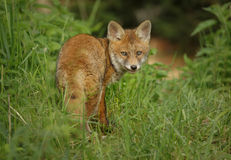 Red fox in the grass Royalty Free Stock Image