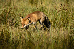 Red fox in grasses Royalty Free Stock Image