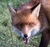Red Fox Growling Stock Photography
