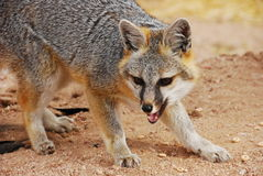 Red Fox Growling or Yipping. A red fox assumes a predatory stance with its mouth open, facing right, with head turned toward viewer Stock Images
