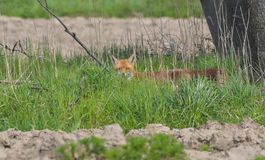 Red fox half-hidden in the green grass royalty free stock image