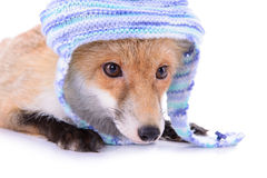 Red fox with a hat Stock Photos