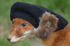 Red Fox With Hat Royalty Free Stock Photography